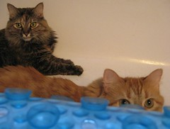 Hanging Out in the Bathtub (elycefeliz) Tags: ohio summer cats cincinnati gatos lucky bathtub zippy katzen