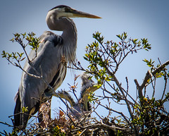 Little wings (KaroliK) Tags: greatblueheron spring2013