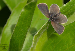 The Small Blue Butterfly - Cupido minimus (Pete Withers) Tags:
