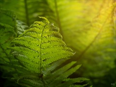 Fern in the Evening Sunlight (fixedfocallength) Tags: leica fern closeup lumix dof bokeh meadow summicron barbedwire sunsetlight farn m43 gf1 leicasummicronm50mm microfourthirds