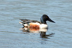 Shoveler Drake. (stonefaction) Tags: birds nature wildlife scotland shoveler loch kinnordy drake duck rspb kirriemuir angus