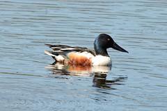 Shoveler Drake. (stonefaction) Tags: birds nature wildlife scotland shoveler loch kinnordy drake duck rspb kirriemuir angus faved