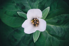 Tendrils (Shannon Doyle - Digital Ninja Design) Tags: flowers macro closeup bokeh 100mm dunedin shannondoyle macroflowerlovers thindof canon5dmarkii digitalninjadesign dunednibotanicalgardens