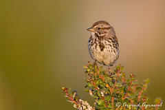 Song Sparrow - IMG_6522 (arvind agrawal) Tags: