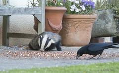 Devon Badgers 3 (aerial2) Tags: wildlife peanuts badger crows