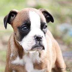 Hasta siempre pequeña (Marian .:Captando Recuerdos:.) Tags: canon cachorro boxer mei 450d angeleses