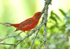 Summer Tanager (snooker2009) Tags: red summer lake bird nature birds outdoors spring wildlife south small carolina getty migration warbler tanager thewonderfulworldofbirds photocontesttnc11 photocontesttnc12 dailynaturetnc12 photocontesttnc13 dailynaturetnc13