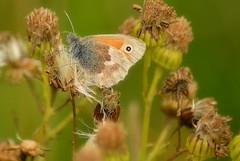 Small Heath (Andy Moshy Taylor) Tags: nature nikon wildlife butterflies insects gateshead northeast tyneandwear smallheath watergateforestpark d3100