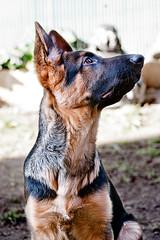 Titan (puppy) (CarlosAlcala) Tags: dog animal puppy perro pastor mascota aleman gsd pastoraleman mejoramigo
