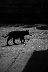 Between the shadows_MG_2513 (GailShamezaRajgor (Rage With A Smile Photography)) Tags: blackandwhite bw pet cats pets black cute animal animals canon blackcat eos blackwhite kitten photographer shadows greeneyes 5d canoneos animalplanet cutecat bwphotography bwphoto catseyes catportrait catswhiskers canoncamera canoneos5d canonphotographer canoneos5dmarkii canon5dmkii 5dmarkii canon5dmarkii suffolkphotographer petsontheprowl ragewithasmile