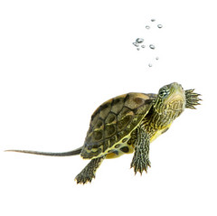 Turtle - OCADIA SINENSIS (veterina_tolmin) Tags: light pet pets white scale water animal swimming swim underwater turtle reptile air young shell amphibian bubbles diving sparkle fluid gravity transparency bubble tropical aquatic breathe fin liquid isolated freshness breathing carapace fluent webbedfoot weightlessness amphibia ocadiasinensis airbulle