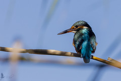 Martin pescatore femmina [Explored] (_milo_) Tags: italy bird canon eos italia tamron oiseau uccello oasi 70300 angera alcedoatthis canneto martinpescatore 60d bruschera