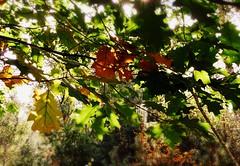 belonging... (Adrinne -for a better and peaceful world-) Tags: autumn sunlight thenetherlands autumnleaves noordbrabant ulvenhout panasonictz5 addyvanrooij abokehoflight lovelymotherearth adrinne greenbeautyforlife