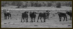 Water Buffaloes (Shanaka Kalubowila) Tags: water asian photography wildlife safari honey srilanka buffaloes shanaka wilpattu aravinda kumana badgerr
