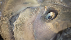 Eye of an Oarfish (CSUF Photos) Tags: misty state cal fullerton csuf oarfish paigtran