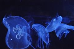 Méduse  (7) (hube.marc) Tags: jellyfish medusa manet tá qualle kwal marmoka meduus クラゲ meduza 水母 해파리 دریایی denizanası عروس uburubur медуза μέδουσα medúza медузи медузы marglyttur medúzák medusozoa stormaneter জেলিফিশ slefrenfôr smugairleróin hvalspýggjur մեդուզա 白蚱