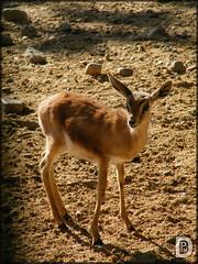 Gacela Dorcas (Gazella dorcas) (Rayka00) Tags: animal mammal zoo fuji finepix fujifilm gazelle gacela mamifero zooaquariummadrid gaceladorcas gazelladorcas s2000hd