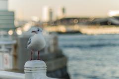 334/365  30/11/2013 : Seagull at Yamashita Pier (Chicaco11) Tags: white japan 50mm pier flickr f14 seagull panasonic yokohama nikkor kanagawa  pw      dmcg2 chicaco11