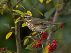 _Red-wing (Dave @ Catchlight Images) Tags: winter birds fruit berry wildlife cotoneaster redwing migrant thrushes