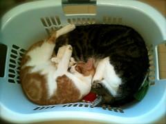 laundrocats (Christaface) Tags: sleeping orange white cat grey kitten basket tabby laundry cuddle