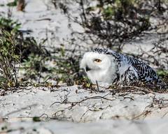 Rare Florida Snowy Owl (minds-eye) Tags: snow bird beach sand florida raptor owl prey rare sighting snowyowl