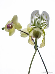 Orchids-1 (bgdesign2016) Tags: