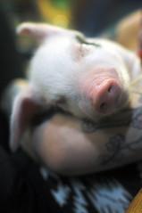 DSC_6122 (leila-anne) Tags: birthday winter party pig january piglet babypig 2014 allysonhoppe