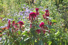 "Velvety Flowers <a style=""margin-left:10px; font-size:0.8em;"" href=""http://www.flickr.com/photos/91915217@N00/12450064505/"" target=""_blank"">@flickr</a>"