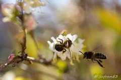 pompes à essences (safran83) Tags: bee tamron 90mm abeille