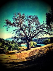 Wintered tree on Frisbee Golf Course (Nathan Wickstrum) Tags: trees dogs nature swimming landscape photography oak wildlife lakes holes climbing camel rainbows ojai susnet la2ojai nathanwickstrum