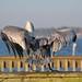 Big Bird (Pelican)