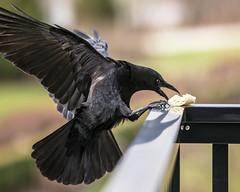 Crow 030214 IMG_7417-2 (Orkakorak) Tags: birds inflight dof bokeh crow thumbwrestling twothumbsup catchandrelease frombehing favescontestwinner thumbsupwinner storybookwinner storybookttwwinner