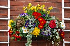 Spring basket ! (Halliwell_Michael ## Offline mostlyl ##) Tags: flowers spring gloucestershire baskets horseracing cheltenham springflowers 2014 beautifulphoto nikond40x mygearandme cheltenhamfestival2014