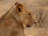Samburu sister (Rainbirder) Tags: kenya ngc samburu africanlion pantheraleo rainbirder
