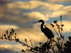 Tri-colored Heron (Jim Mullhaupt) Tags: blue lake tree bird heron water silhouette clouds pond flickr florida bradenton tricoloredheron wader mullhaupt jimmullhaupt