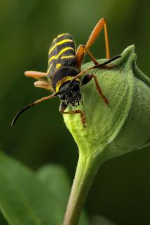 Clytus arietis - Kleine wespenbok