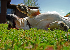 Flea and Tick Season! (Clorissasue) Tags: dog eye view sunny bugs whiskers roll paws flea bassethound bestofweek1 bestofweek2 activeassignmentweeklygroup