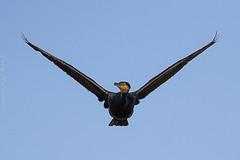 Great Cormorant Greenfields Wetlands SA (danny.mccreadie2) Tags: great cormorant sa greenfield wetland