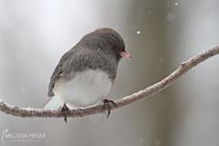 Dark-eyed Junco (Melissa Penta) Tags: snow birds yard junco pa sparrow stroudsburg