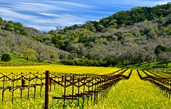 Vines , mustard, Napa valley (David McSpadden) Tags: napavalley mustard nitrogen oakville weekendshowcase
