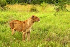 Lioness (halfmoonexplorer) Tags: africa wild animals landscape southafrica nationalpark king wildlife lion pride safari beast savannah sightings sniff grassland lioness hunt krugernationalpark kruger prowl bigfive big5