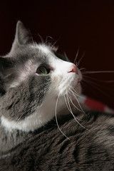 Pepper (peterkelly) Tags: light sunlight ontario canada digital cat fur pepper nose guelph whiskers northamerica sunlit lying