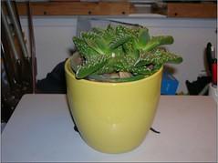 Cactus-Tillandsia-5 (cuirung) Tags: jade gollum haworthia airplant crassula felina faucaria perforata tigerjaw cactustillandsia bulbbolsa