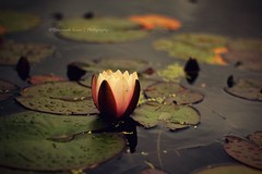 The Waterlily <3 (|| Rehnumah Insan ||) Tags: summer lake holiday flower water gardens wales fauna contrast dark season 50mm prime spring pond flora dof waterlily bokeh depthoffield dslr bodnant botanicgardens 50mm18 600d canon600d llaldudno