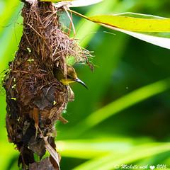 Sunbird (michellexueqi) Tags: bird nest wildlife sunbird birdphotography birdlovers wildlifephotography