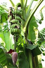 saging (banana) (DOLCEVITALUX) Tags: tree fauna flora philippines banana medicinalplants saging
