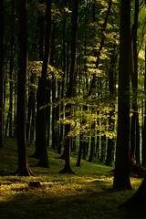 Abendsonne im Buchenwald (Caora) Tags: light forest germany buchenwald sundown rügen beech