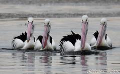 Straight ahead! Australian Pelicans (Merrillie) Tags: sea nature water animals fauna bay nikon scenery waterfront wildlife australia pelican views nsw brisbanewater woywoy d5500 nswcentralcoast centralcoastnsw