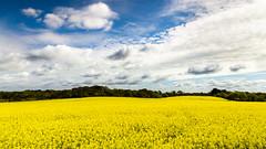 Promenons-nous dans le colza. [Explore 10/05/2016] (Lollivier Stphane) Tags: france jaune nikon champs bretagne tokina bleu explore ciel nisi finistere colza d3200