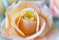 (Fay2603) Tags: orange plant flower nature rose fuji blossom natur pflanze rosa indoor apricot delicate blume blte tender pastell zart xt1